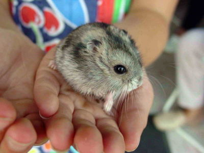 400px-Hamster_057eue