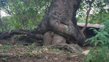 Erotische boom