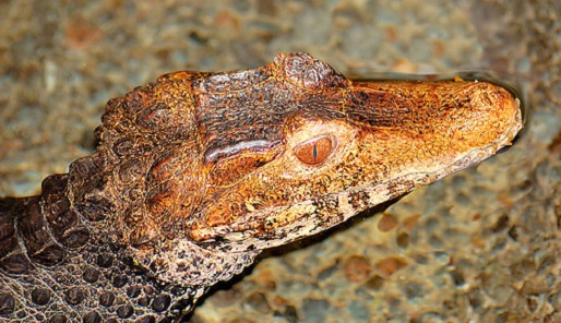 Genus Osteolaemus