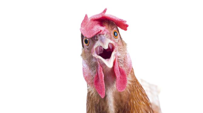 Afbeeldingsresultaat voor kip