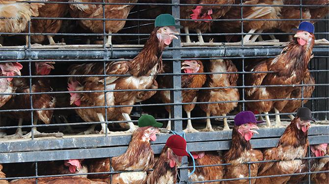 Kippen krijgen petje op tijdens vervoer
