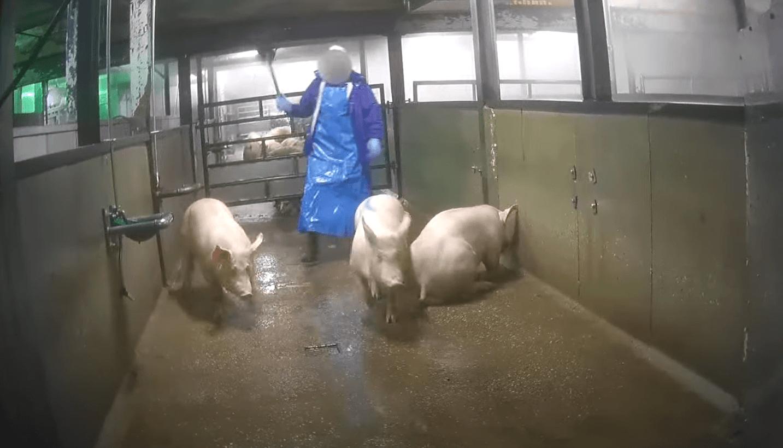 Beeld: Varkens in Nood / YT