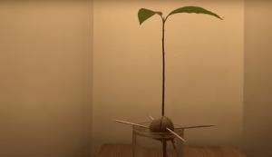 YT: Scott grows an avocado tree