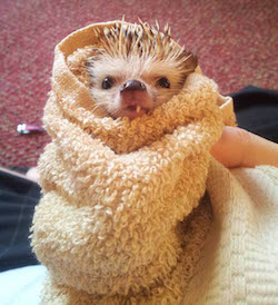 hedgehog-bath-snaggle-tooth